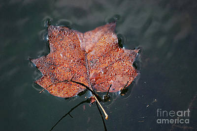 Photograph - Autumn Maple Leaf 20130901_194 by Tina Hopkins