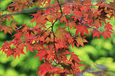 Antique Maps - Autumn maple leaves - 2 by Chris Smith
