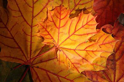 Digital Art - Autumn Maple Leaves by Dick Pratt