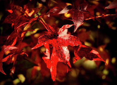 Photograph - Autumn Maple Leaves by James DeMers
