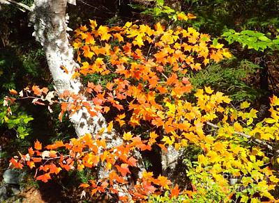 Photograph - Autumn Maple by Barbara Von Pagel