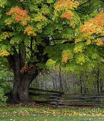 Photograph - Autumn Maple Tree by Bianca Nadeau