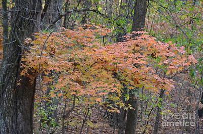 Photograph - Autumn Maples 2 by Maria Urso