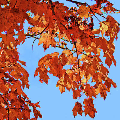Photograph - Autumn Maples by HH Photography of Florida