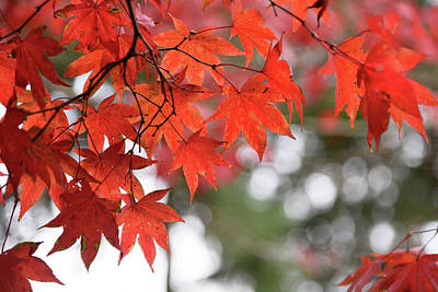 Photograph - Autumn Maples by Keith Boone