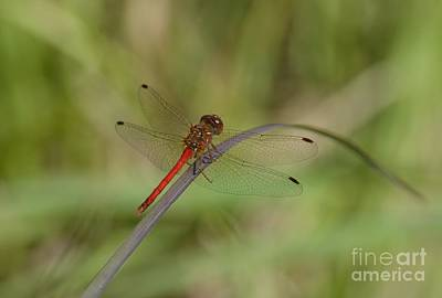 Autumn Meadowhawk Art Print