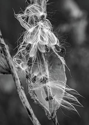 Photograph - Autumn Milkweed 11 Bw by Steve Harrington