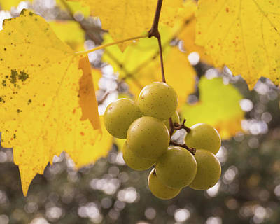 Photograph - Autumn Muscadine Grapes On The Vine by MM Anderson