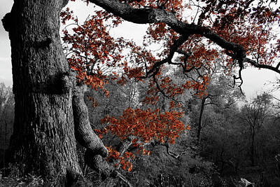 Photograph - Autumn Oak by Dylan Punke