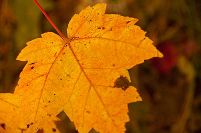 Photograph - Autumn Oak Leaf by Brenda Jacobs