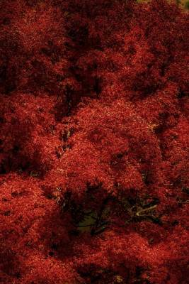 Photograph - Autumn Maple Leaves by Sherman Perry