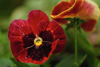 Christmas Christopher And Amanda Elwell - Autumn Pansy by Denise D Higgins