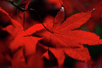 Photograph - Autumn Passion. Japanese Maple Leaves 3 by Jenny Rainbow