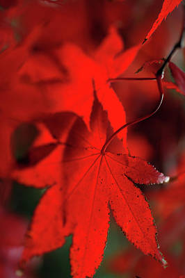 Photograph - Autumn Passion. Japanese Maple Leaves by Jenny Rainbow