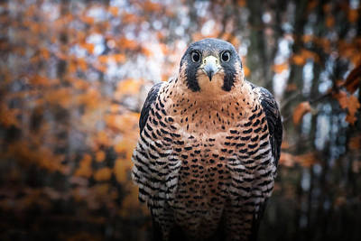 Photograph - Autumn Peregrine by Angie Rea