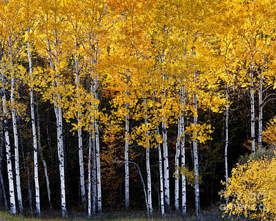 Photograph - Autumn Poplars by Alan L Graham