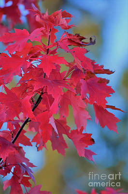 Photograph - Autumn Radiance by Deb Halloran