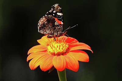 Photograph - Autumn Red Admiral by Debbie Oppermann