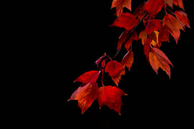 Photograph - Autumn Red Maple Leaves On Black by Terry DeLuco