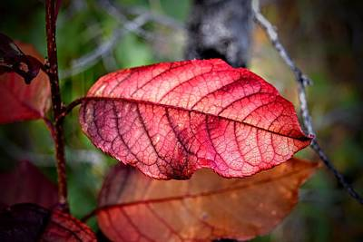 Photograph - Autumn Red by Michael Brungardt