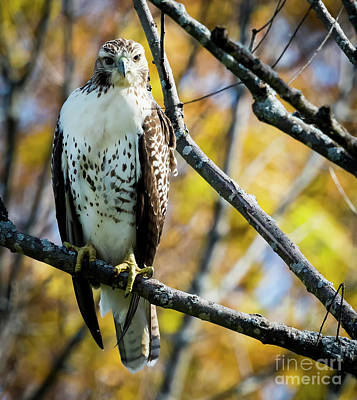 Photograph - Autumn Red-tailed Hawk by Ricky L Jones