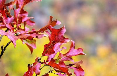 Photograph - Autumn Reds In The Ozarks by JC Findley