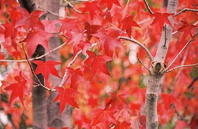 Photograph - Autumn Reds by Lawrence Pratt