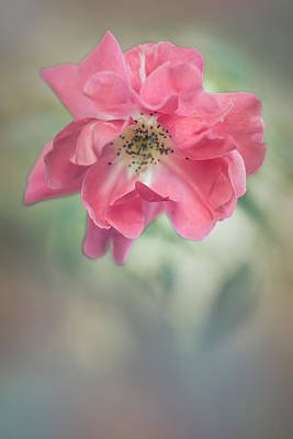 Photograph - Autumn Rose by Elvira Pinkhas