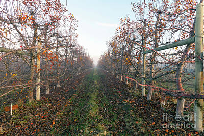 Apple Orchard Photograph - Autumn Rows by Mike Dawson
