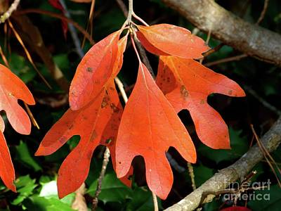 Photograph - Autumn Sassafras Leaves by Jean Wright