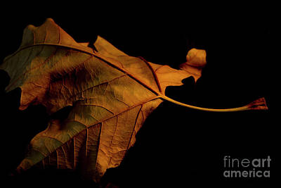 Photograph - Autumn Solitary Leaf by Ivete Basso Photography