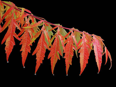 Rhus Photograph - Autumn Splash by Gill Billington