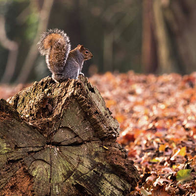 Photograph - Autumn Squirrel 3 Square by Matt Malloy