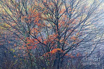 Autumn Sugar Maple In Fog Art Print by Thomas R Fletcher
