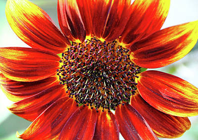 Photograph - Autumn Sunflower by Debbie Oppermann