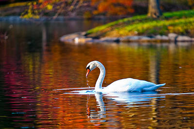 Autumn Swan Lake Art Print