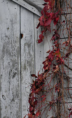Photograph - Autumn Vine Barn Wall by Dan Sproul