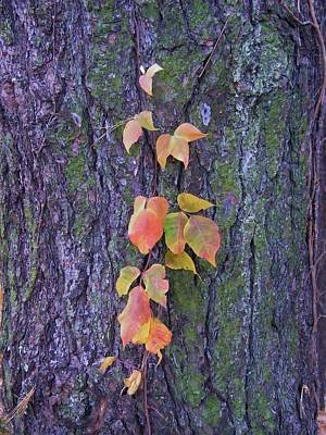 Autumn Vine Leaves On Tree Trunk    Indiana Art Print by Rory Cubel