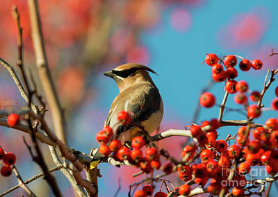 Autumn Waxwing Art Print by Mike Dawson