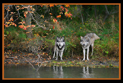 Photograph - Autumn Wolf Study  by Shari Jardina