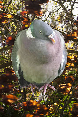 Photograph - Autumn Wood Pigeon Portrait by Richard Thomas