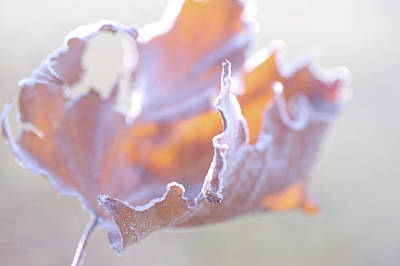 Photograph - Autumnal Abstract Of Dry Frosted Leaf by Jenny Rainbow