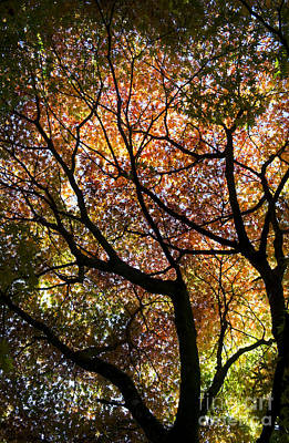 Vivid Fall Colors Photograph - Autumnal Acer Palmatum Westonbirt Orange by Tim Gainey