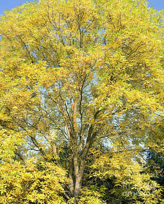 Photograph - Autumnal American Ash by Tim Gainey