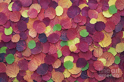 Vivid Fall Colors Photograph - Autumnal Aspen Leaves by Tim Gainey