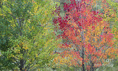 Vivid Fall Colors Photograph - Autumnal Aspen Trees by Tim Gainey