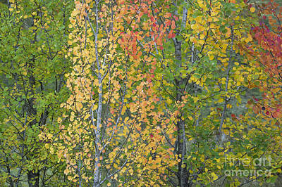 Vivid Fall Colors Photograph - Autumnal Aspens by Tim Gainey