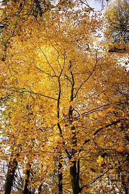 Photograph - Autumnal Beech Canopy by Tim Gainey