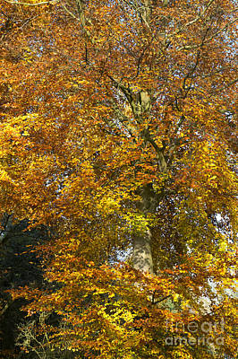 Plant Color Changes Photograph - Autumnal Beech Tree by Tim Gainey