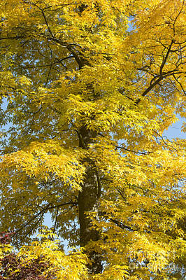 Plant Color Changes Photograph - Autumnal Bitternut Hickory Tree by Tim Gainey